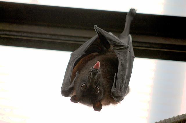 pomen-videnja-živali-netopir-vibracijeduse.si