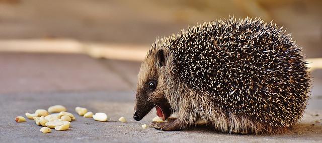 pomen-videnja-živali-jež-vibracijeduse.si