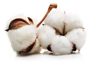 Cotton Stem Cells.jpg