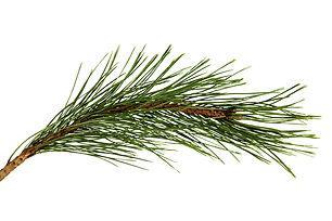 Marine Pine.jpg