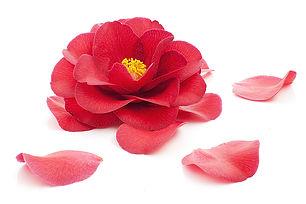 Camellia Oil.jpg