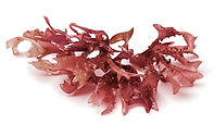 Red Seaweed-Helionori.jpg
