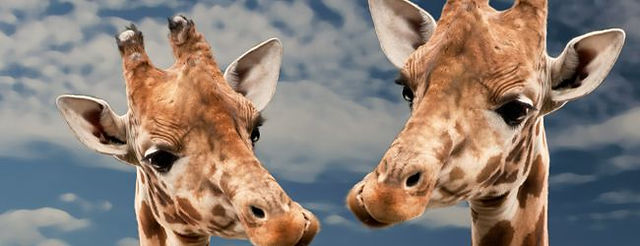 giraffes6.jpg
