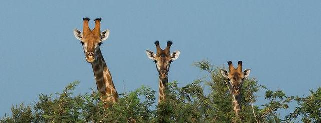 giraffes5.jpg