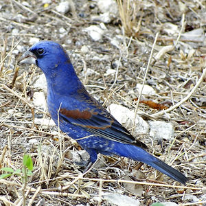 pájaro jay azul en yucatán