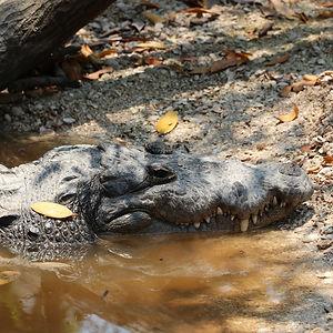 cocodrilo en wotoch aayin la casa del cocodrilo en campeche