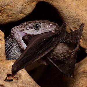 serpiente devorando un murciélago en las cavernas de beej kaax ha kantemó quintana roo