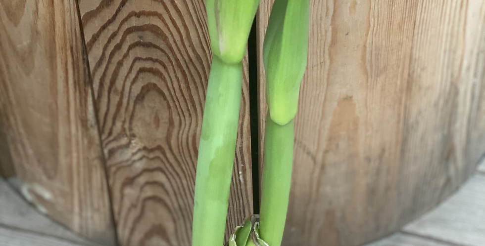 amaryllis en cire