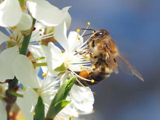 Biene auf Kirsche - Bild von kie-ker auf