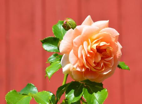 Muzeju rotās karaliskās rozes