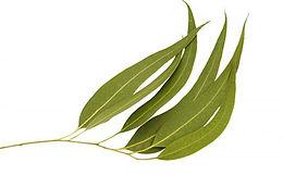 CitriodoraHook ( Lemon Eucalyptus) Essential Oil