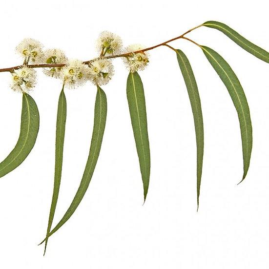 Eucalyptus polybractea (Blue Mallee) Essential Oil