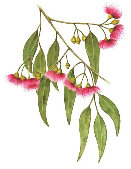 Eucalyptus globulusLabill (Organic Portuguese Blue Gum) Essential Oil