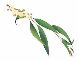Eucalyptus Radiata Organic Essential Oil  (Narrow leaf )