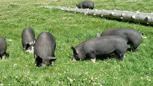 Cutter Ranch Pigs