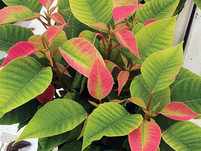 How to Manage the 3 M's of Poinsettias: Manganese, Molybdenum, and Magnesium