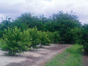 More Florida Citrus Producers Pondering the Lemon Pledge