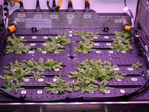 NASA Chooses Española chile and Florikan for APH