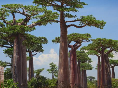 Passeggiando tra i Baobab