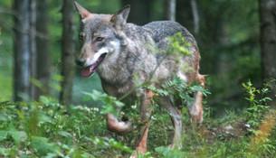 Lupi: nel Cuneese la maggiore popolazione delle Alpi