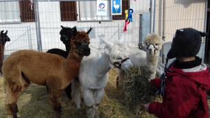 """Natale a Saluzzo: in via Gualtieri """"A spasso con gli Alpaca""""dell'associazione MairAlpaca"""