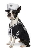 Pets Ahoy Bosten Terrier web image.jpg
