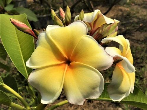 "Plumeria (Frangipani) Plant - 3 ""AZTEC GOLD"" Live Seedlings  3""-5"""