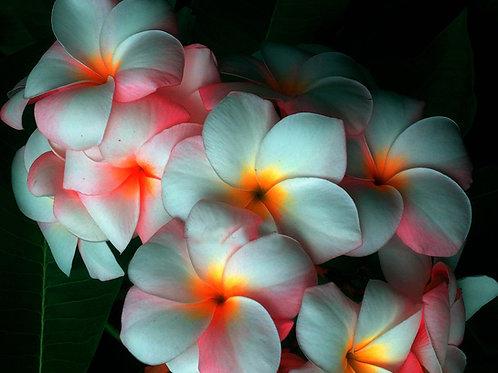 "Plumeria (Frangipani) Plant - 3 ""ORANDE PAW"" Live Seedlings  3""-5"""