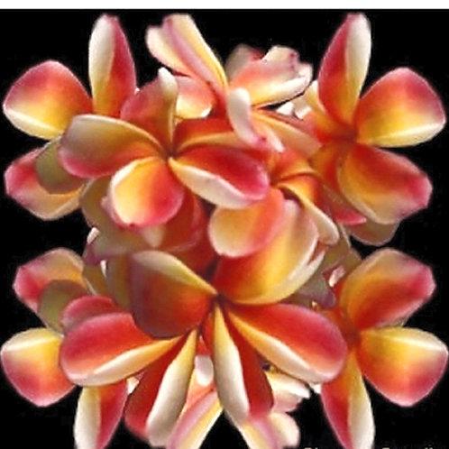 """Plumeria (Frangipani) Plant - 3 """"ORANGE RAINBOW"""" Live Seedlings  3""""-5"""""""