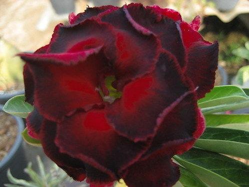 """Desert Rose (Adenium) Plant - 3 Live '#127 Lucknirun' Seedlings 1.5"""" - 3"""""""