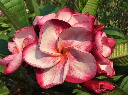 "Plumeria (Frangipani) Plant - 3 ""TICKLED PINK"" Live Seedlings  3""-5"""