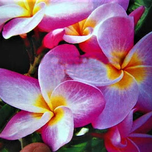 "Plumeria (Frangipani) Plant - 3 ""MY SWEET"" Live Seedlings  3""-5"""