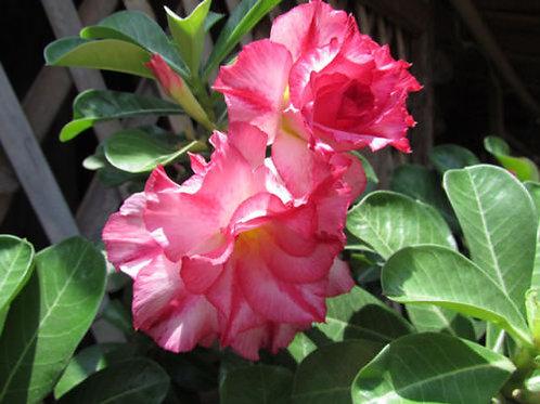 """Desert Rose (Adenium) Plant - 3 Live '#39 Sapphisann' Seedlings 1.5""""-3"""""""