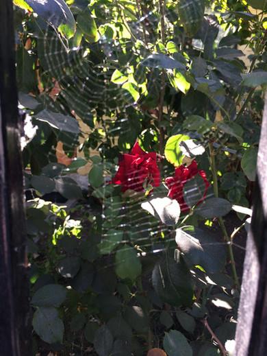 rose through the spiderwebs
