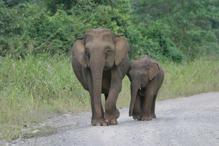 Pygmy elephant photo.jpg