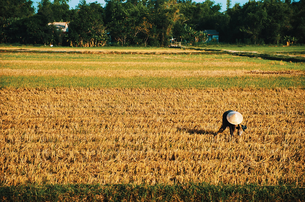 Vietnamese woman harvesting rice in a field wearing nón lá
