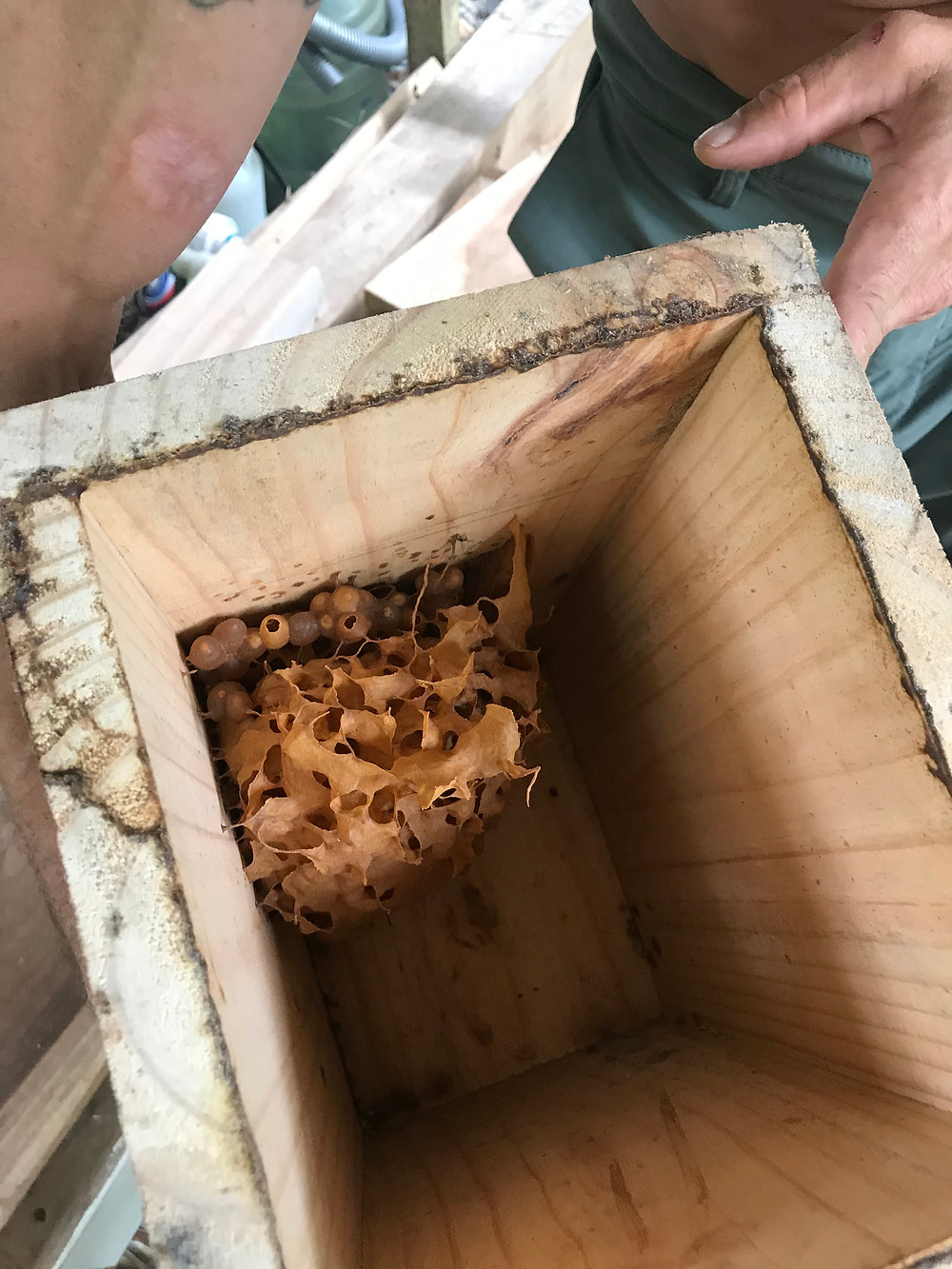 Curvy wax hive, queen in the middle