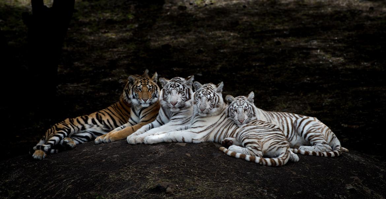 tigrettes2.j.pg.jpg