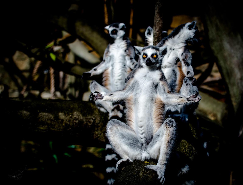 lemur1.j.pg.jpg
