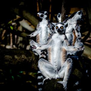 """30""""Lemurer på Skansen"""" Utställnings ex alu 40x30cm 500kr"""