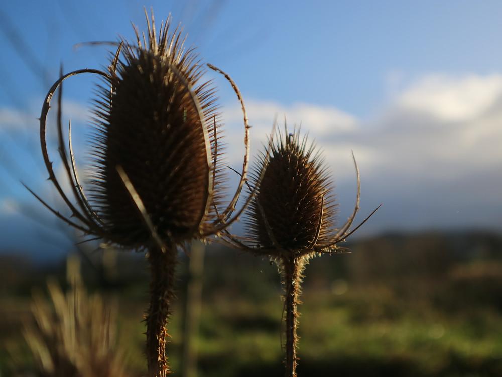 teasel winter seed heads