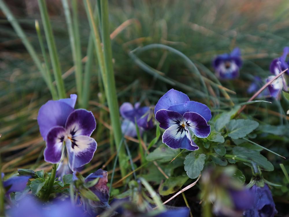 winter viola plants