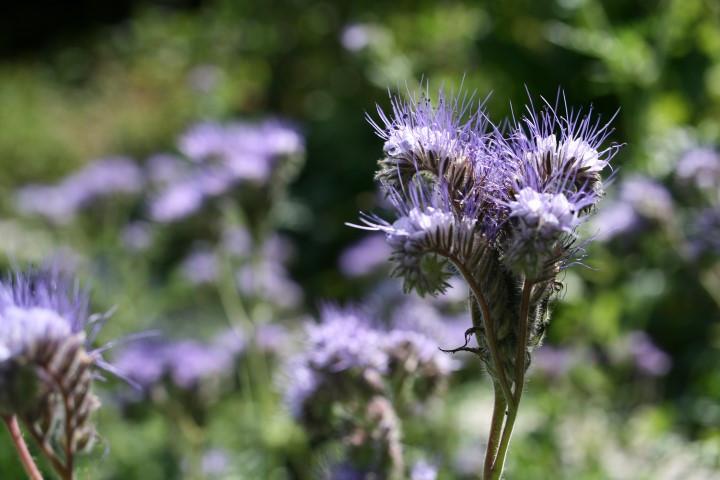 phacelia in flower