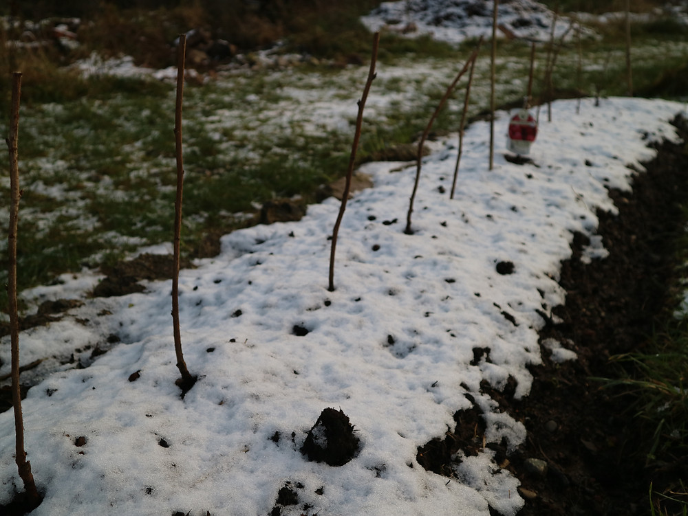 young raspberry plants, surrounded by snow, in a bed stripped using the mulching method