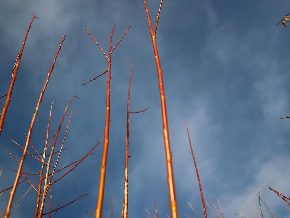 Fiery willow stems in winter