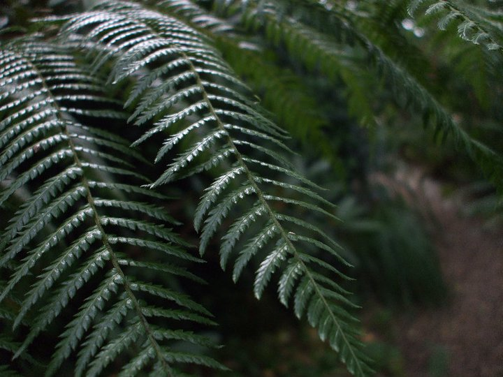 Shade Garden Ferns