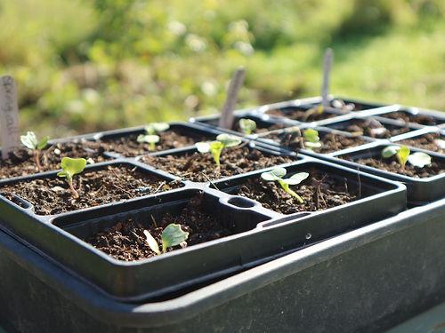 brassica seedlings.jpg