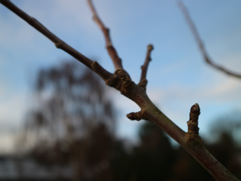 apple tree stem showing pruning cut for shoots and fruit