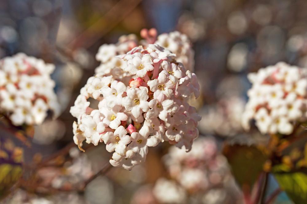 Viburnum bodnantense 'Dawn' in winter