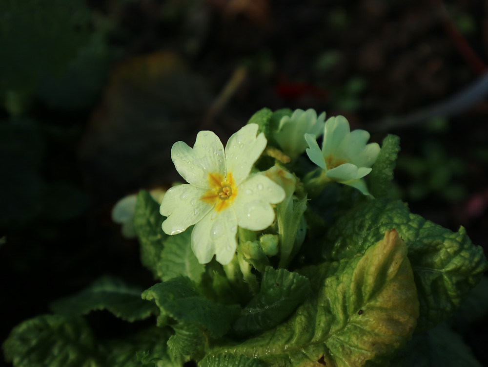 Primrose flower in winter